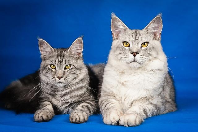 Mývalí kočka