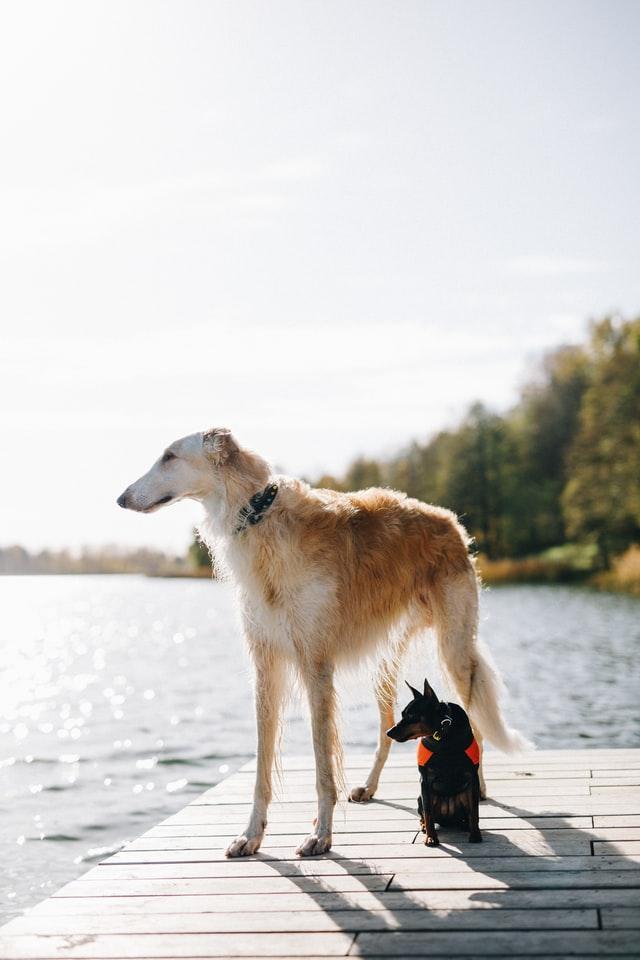 malý a velký pes