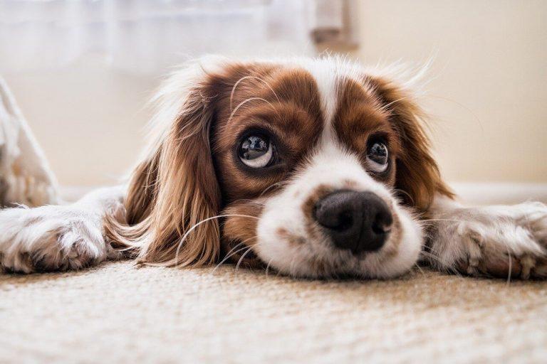 Přemýšlíte o pořízení psa? Poradíme, kde ho koupit